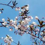 函館公園:桜