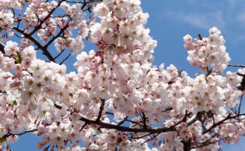 五稜郭公園:桜
