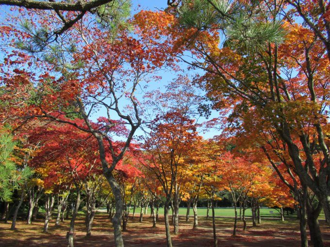 【紅葉情報】笹流ダム(赤川水源地)の前庭広場は、ほぼ見頃かも?