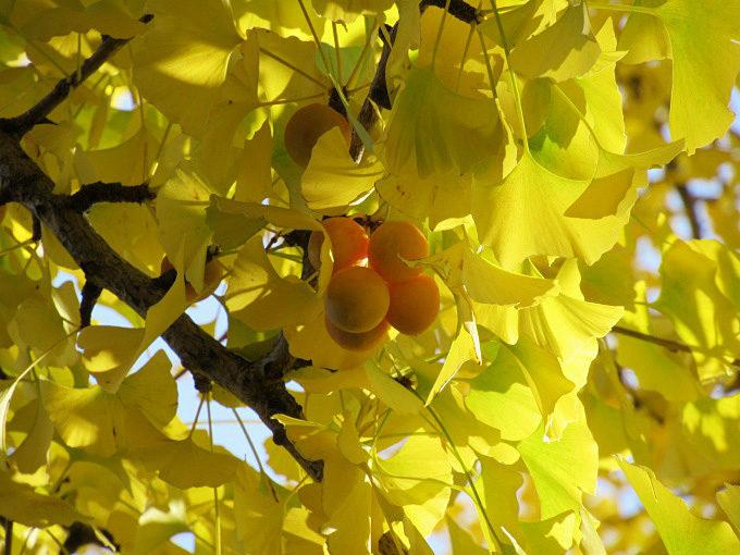 亀田八幡宮のイチョウが見頃で美しい